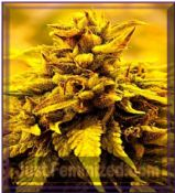 Delta 9 Labs Kopasetic Kush Feminised Cannabis Seeds